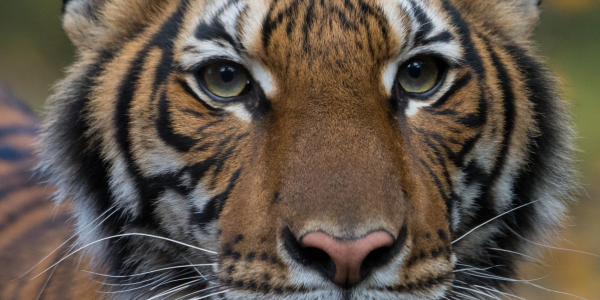A tiger at the Bronx Zoo tested positive…